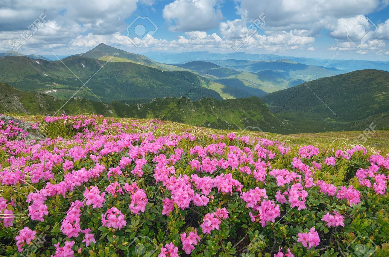 Summer mountain landscape with beautiful flowers big meadow stock stock photo summer mountain landscape with beautiful flowers big meadow of blooming rhododendron carpathian mountains ukraine europe view the top izmirmasajfo