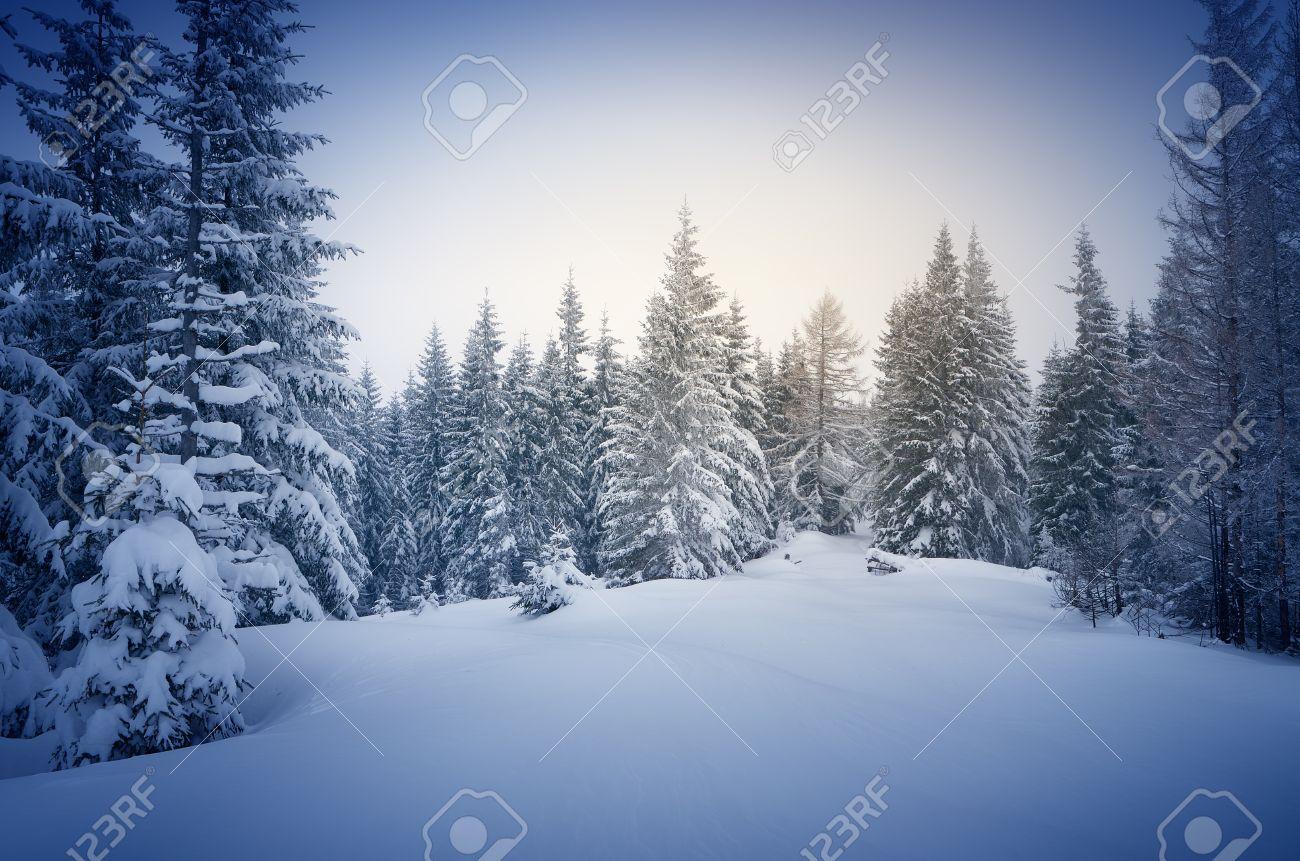 Hiver dans les bois. De Nouvel An paysage. La neige fraîche sur les arbres. L'effet de la couleur teinte Banque d'images - 33092245