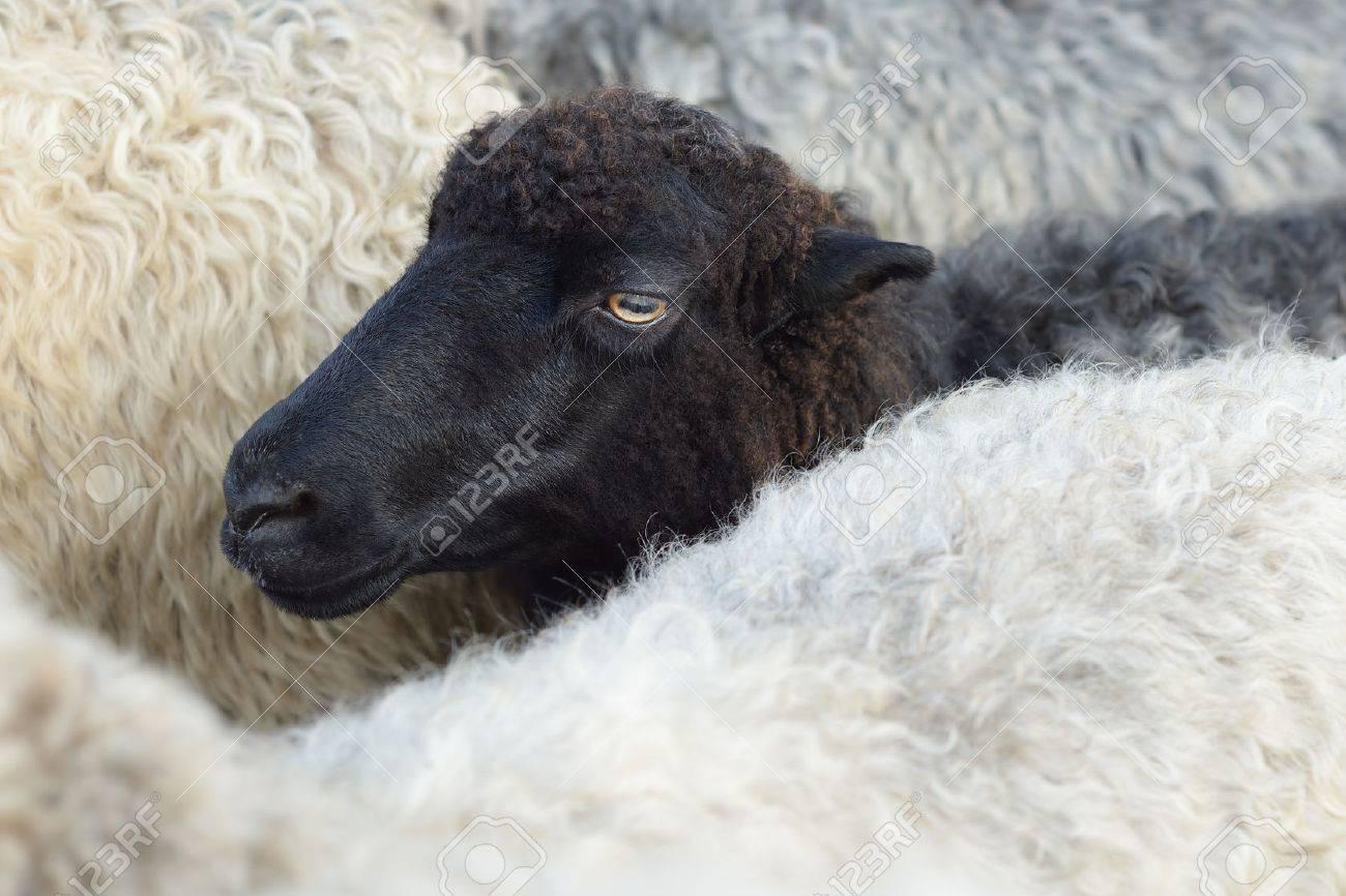 Museau d'un mouton noir dans le troupeau Banque d'images - 42038078