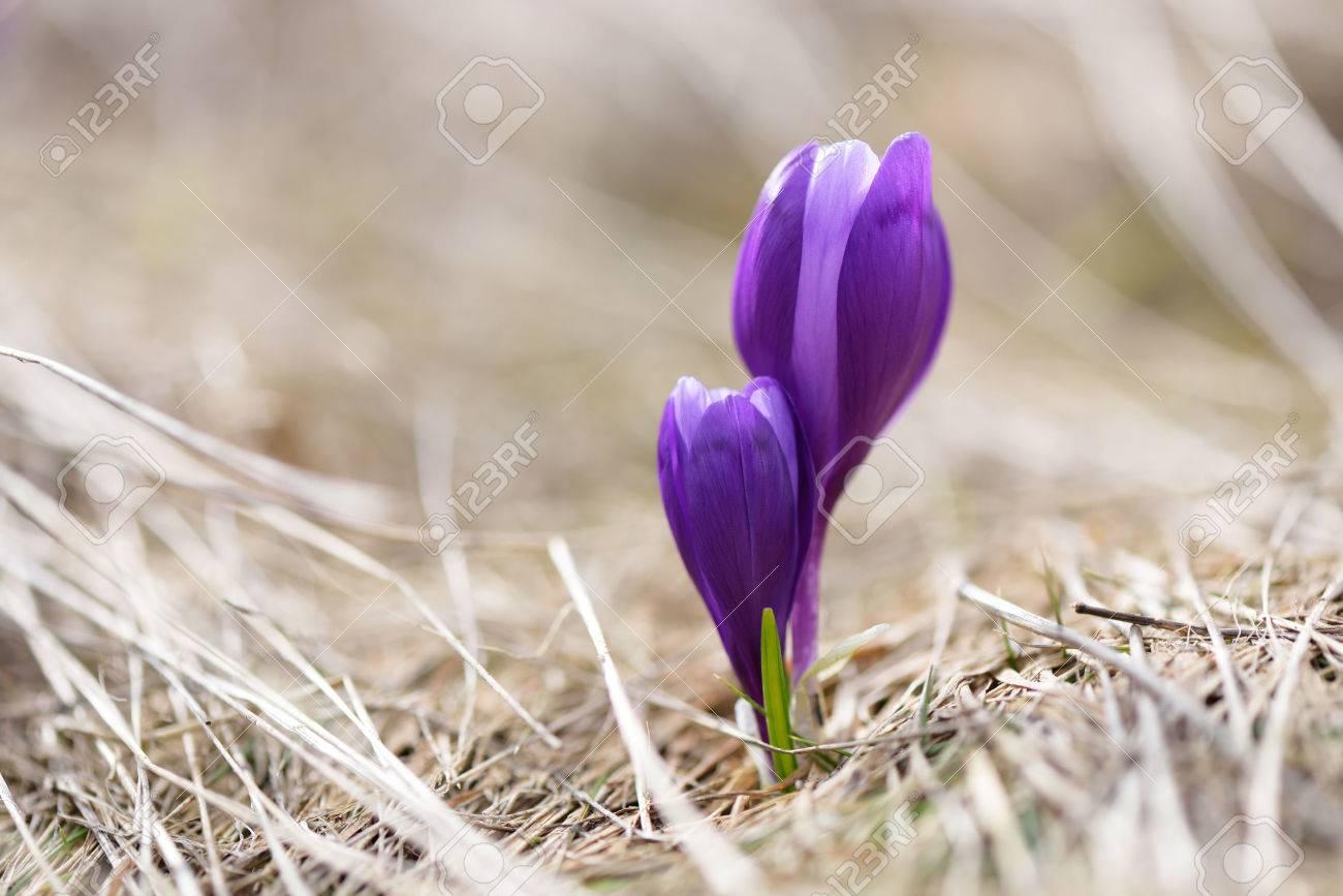 Erste Fruhlingsblumen Lila Krokusse Im Trockenen Gras Zwei Blumen