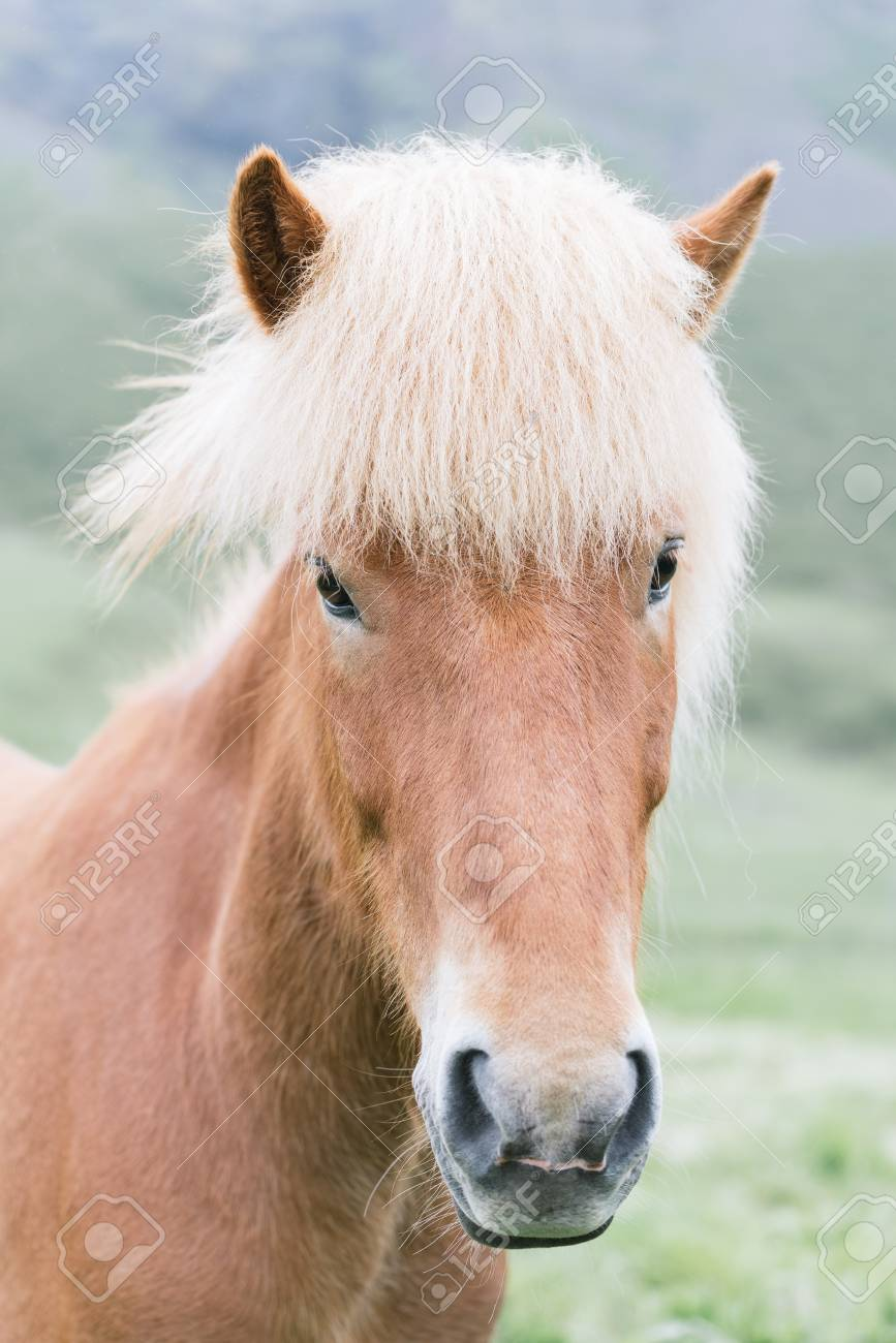 Portrait Of A Brown Icelandic Horse With A Beautiful Mane Photo Stock Photo Picture And Royalty Free Image Image 122831625