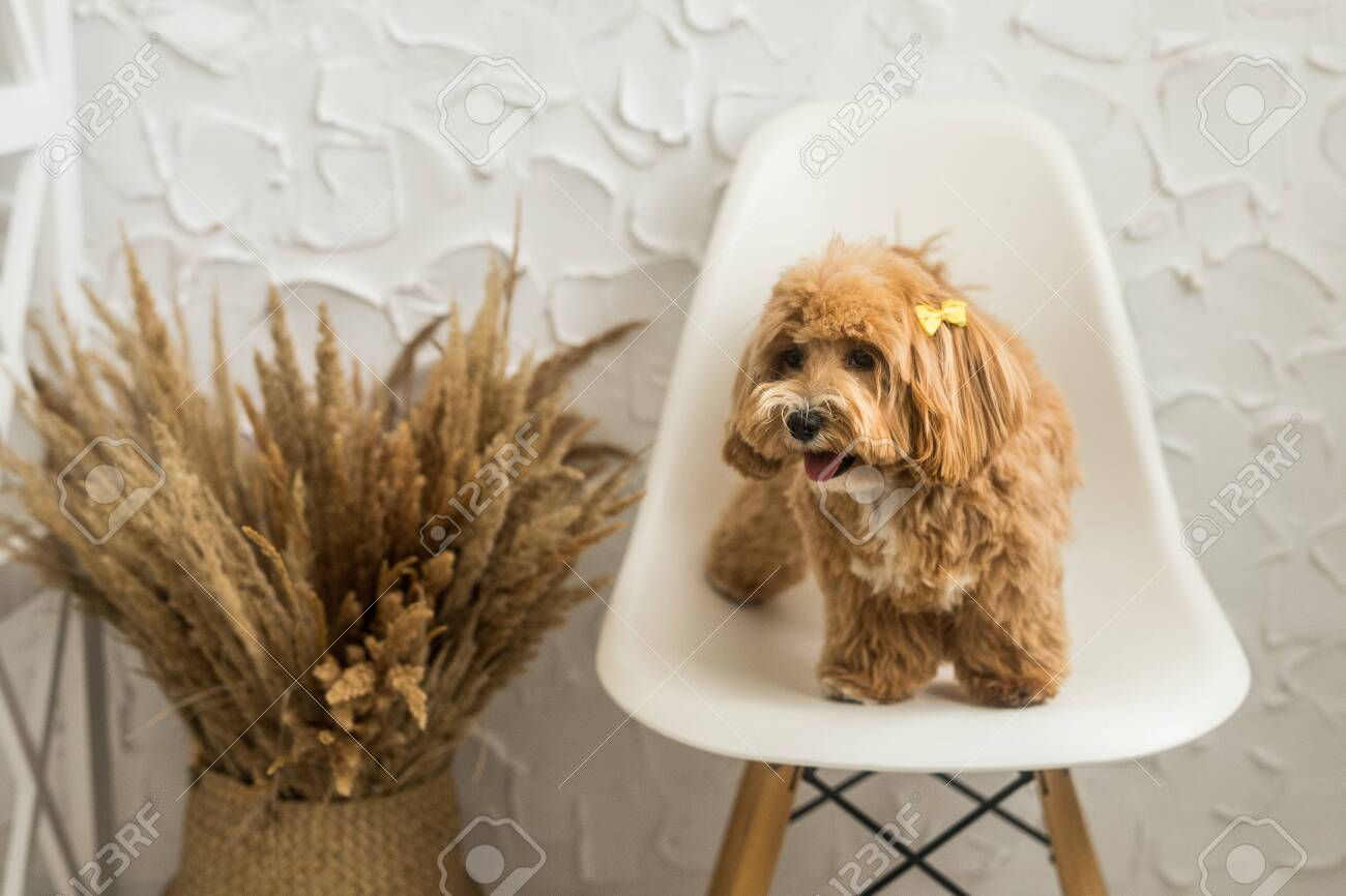 Toy Poodle Stand On White Chair And Show Tongue In Camera The Stock Photo Picture And Royalty Free Image Image 148751704