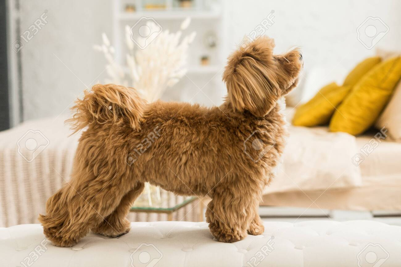 Happy Toy Poodle Stand On White Armchair Side View Of Ginger Stock Photo Picture And Royalty Free Image Image 148984309