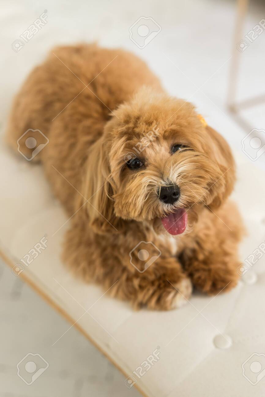 Toy Poodle Lying On White Armhair And Muzzle And Look In Camera Stock Photo Picture And Royalty Free Image Image 148984311