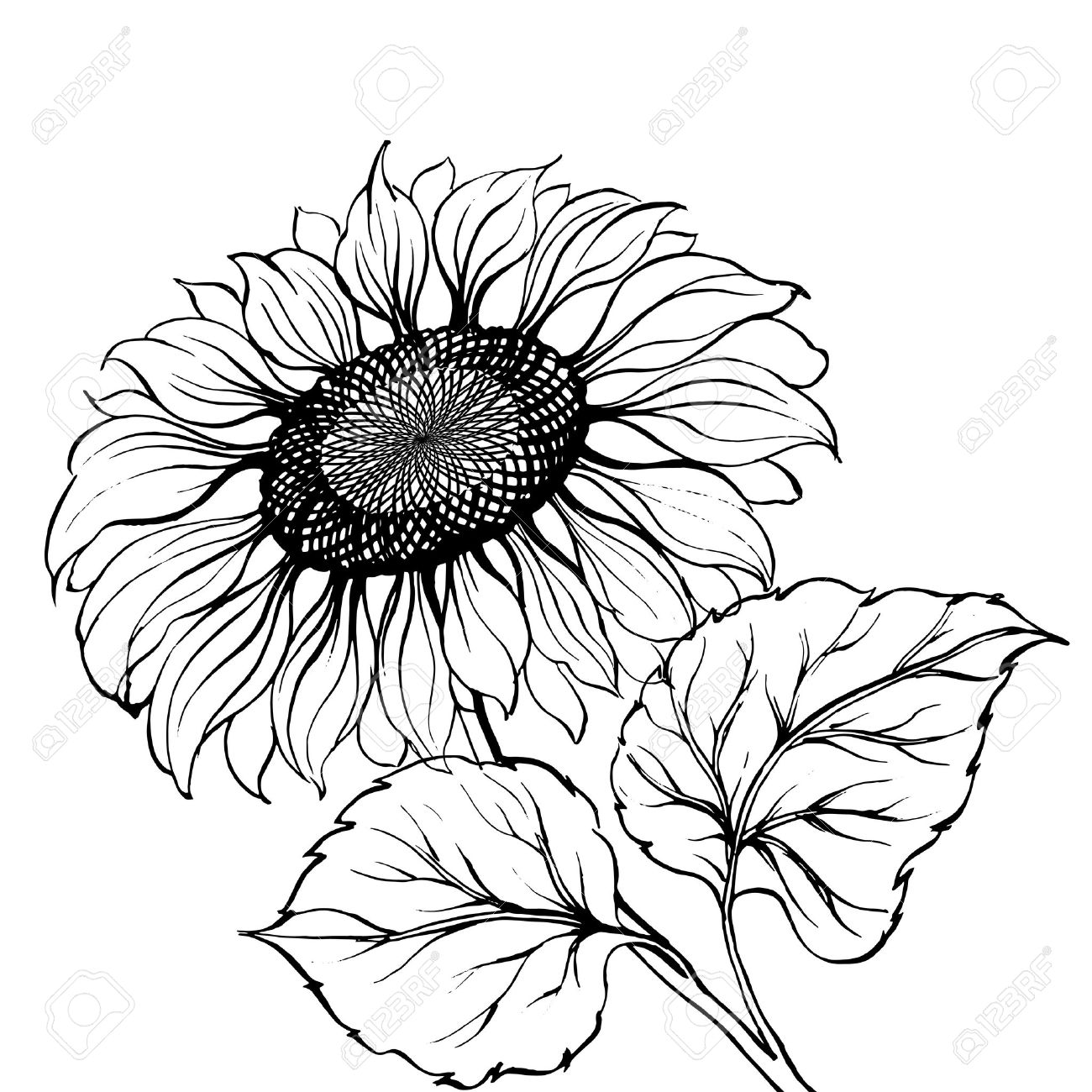 Sunflower Royalty Free Cliparts Vectors And Stock Illustration