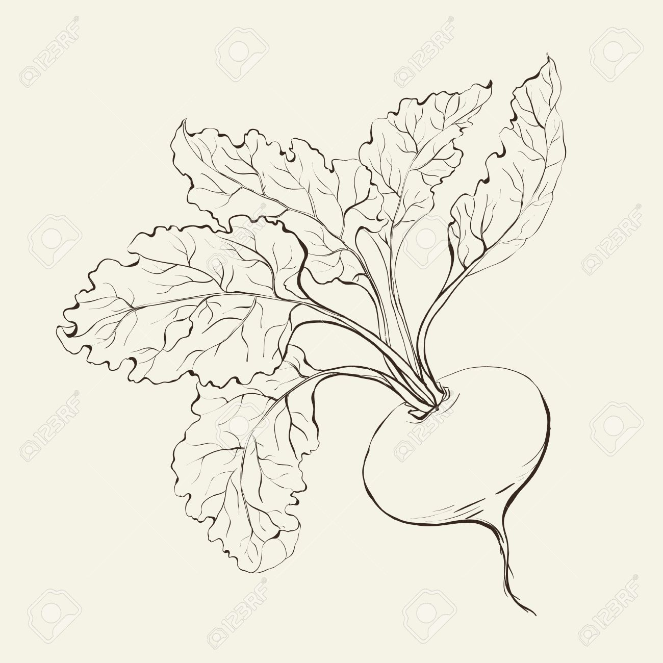 Beet root isolated on white  Vector illustration Stock Vector - 19063847