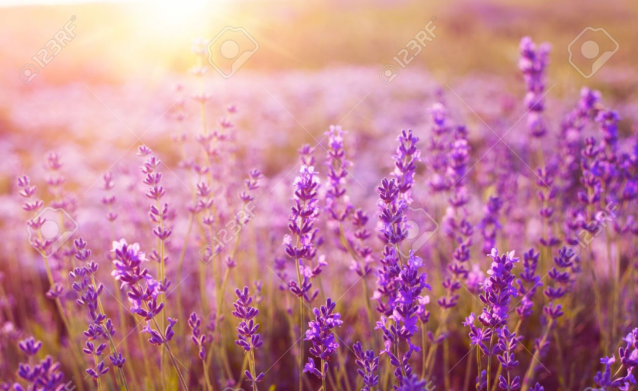 Sunset Over A Violet Lavender Field In Provence France Stock