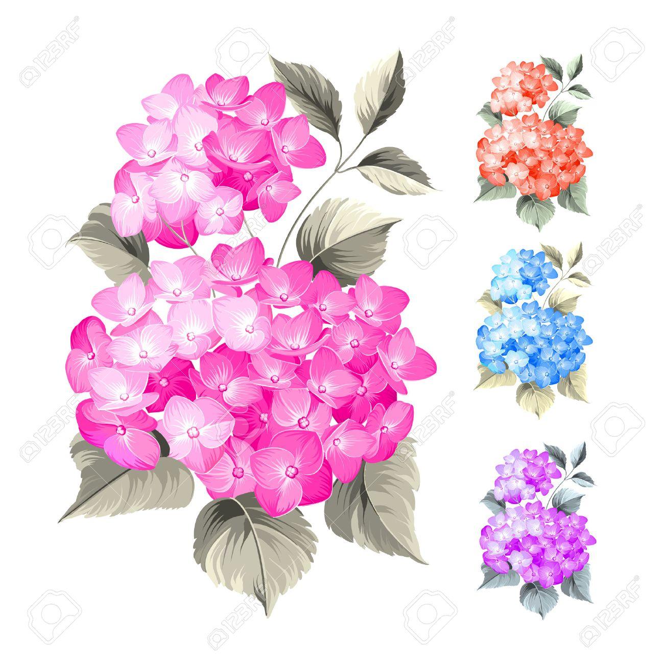 Fleur Hortensia Sur Fond Blanc Tete De Balai Fleur D Hortensia