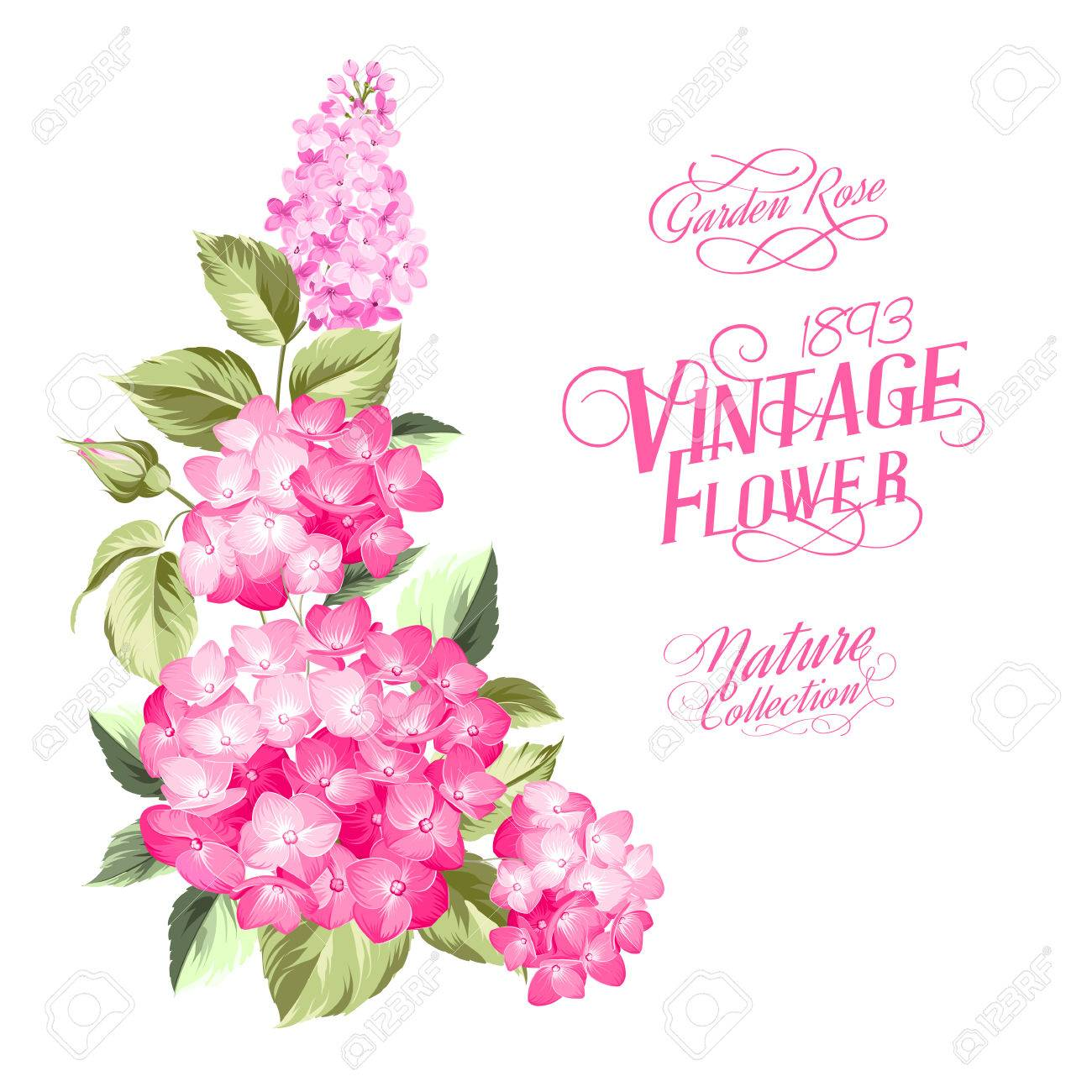 Vintage style text label over isolated over white background marriage invitation card with custom text purple garland hydrangea on white background red head of hydrangea flower vector illustration stopboris