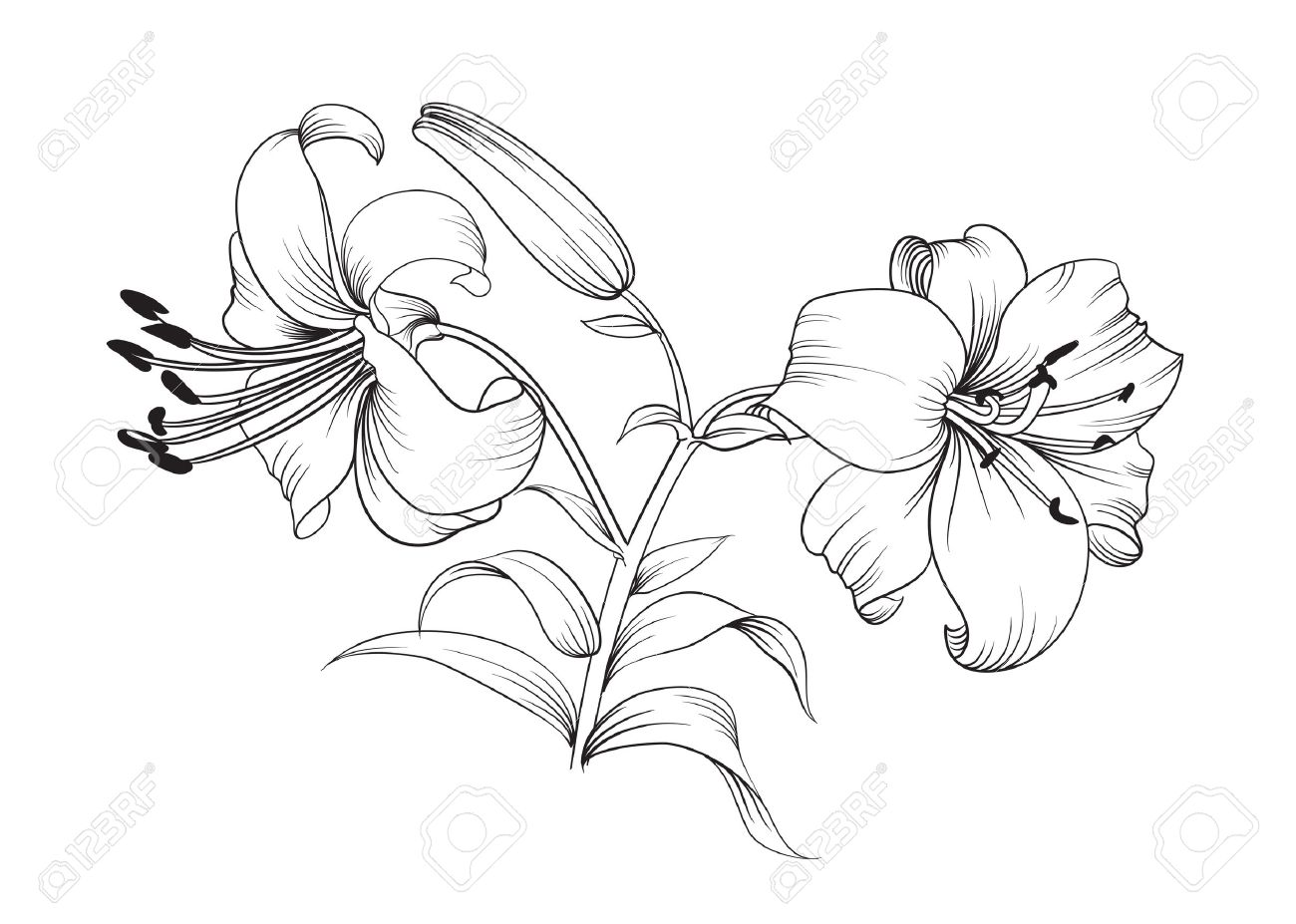 Deux Fleurs De Lys Fond Floral Avec Floraison Lis Isole Sur Fond