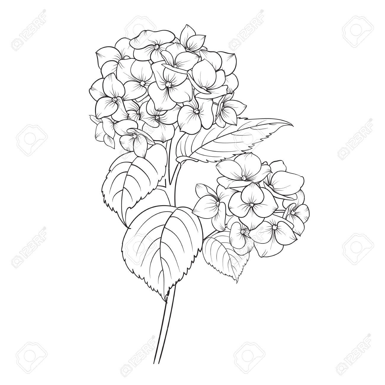 Blooming Fleur D Hortensia Sur Fond Blanc Tete De Balai Fleur D