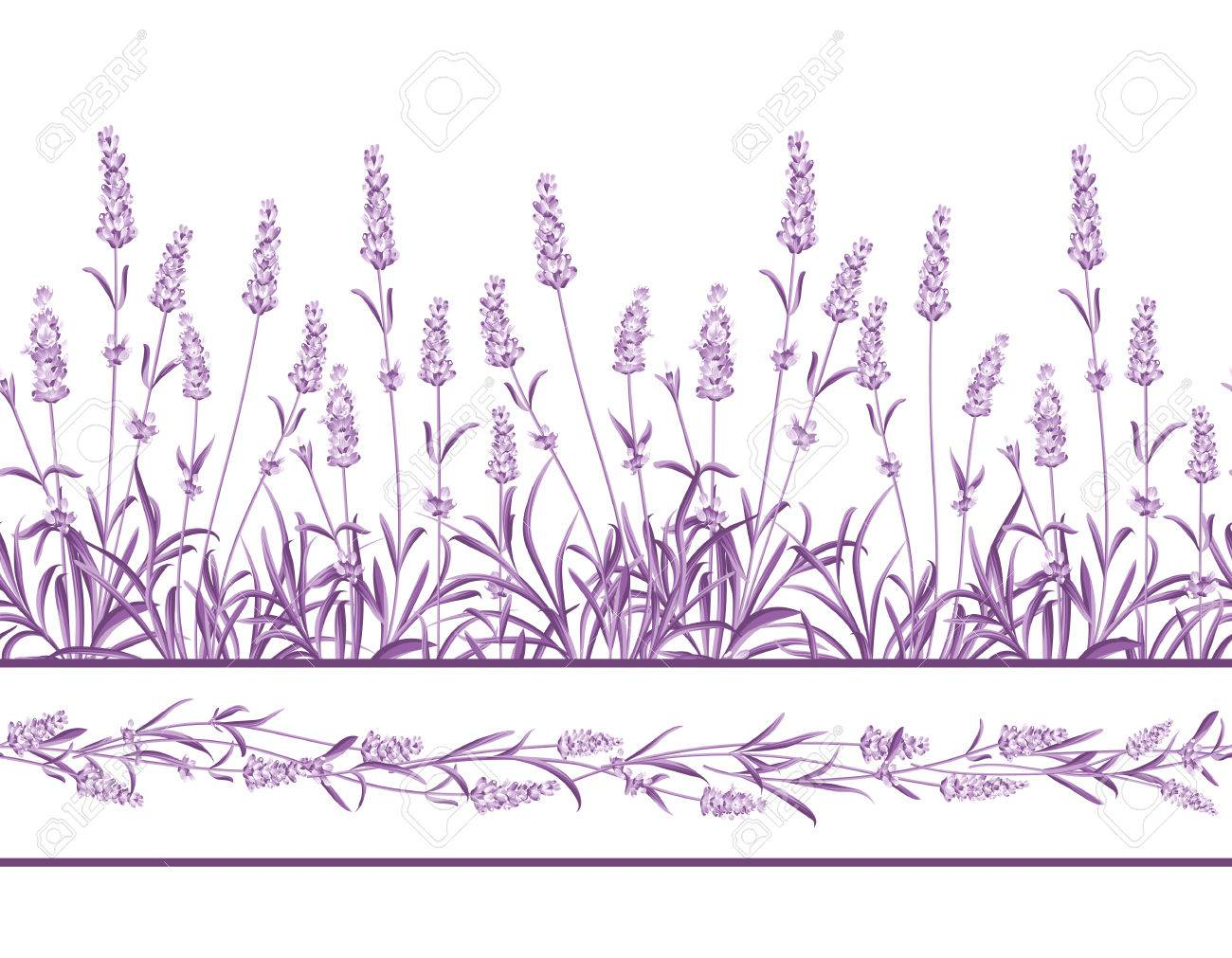 The Lavender Seamless frame line. Bunch of lavender flowers on a white background. Vector illustration. - 50920413