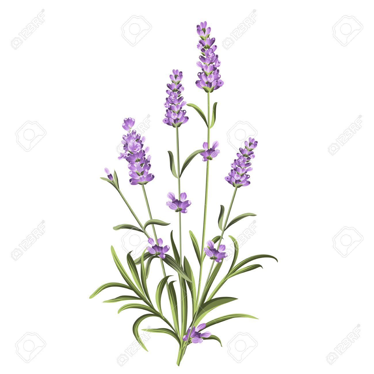 Lavender flowers elements. Botanical illustration. Collection of lavender flowers on a white background. Lavender hand drawn. Watercolor lavender set. Lavender flowers isolated on white background. - 54294368