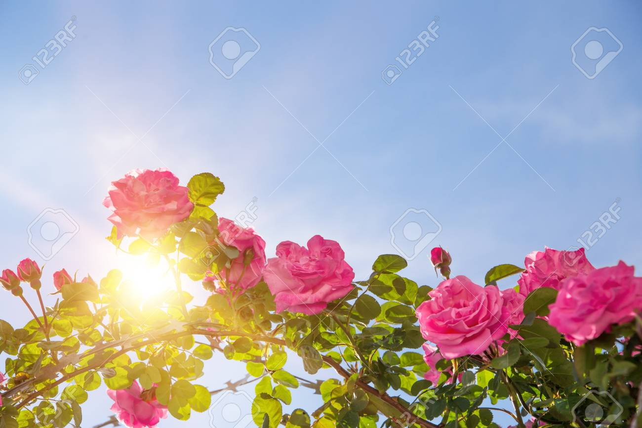 Rose Garden Over Sky. Pink Roses Are Blooming Brightly. Sun Beam ...
