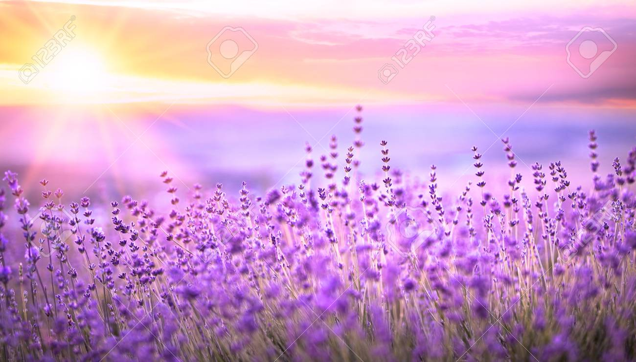 Sunset sky over a violet lavender field in Provence, France. Lavender bushes closeup on evening light. - 80825215