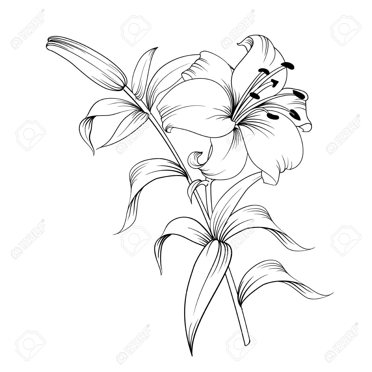 White lily isolated on a white background. Card with blooming lily. Vector illustration. - 98199144