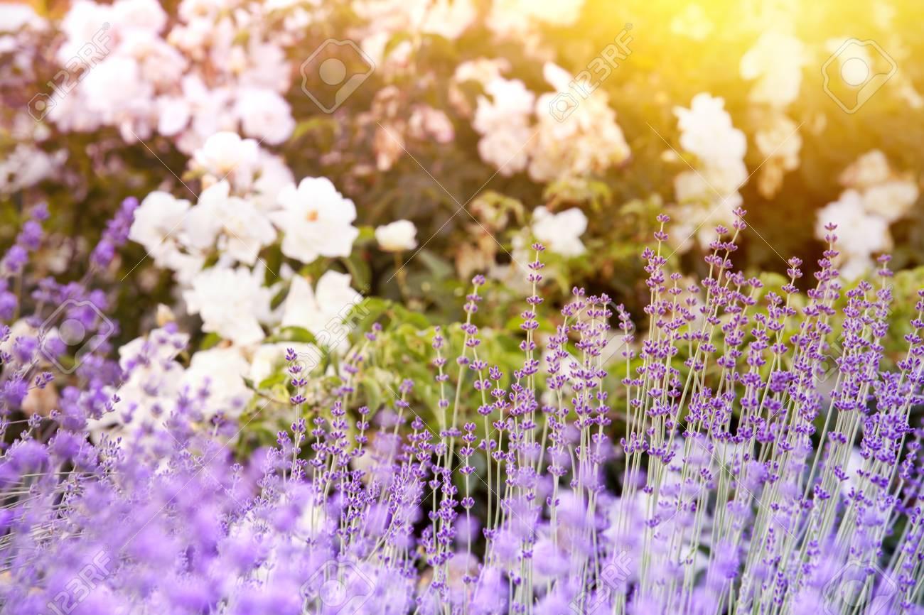 Lavender Bushes Closeup On Evening Light Purple Flowers Of Lavender