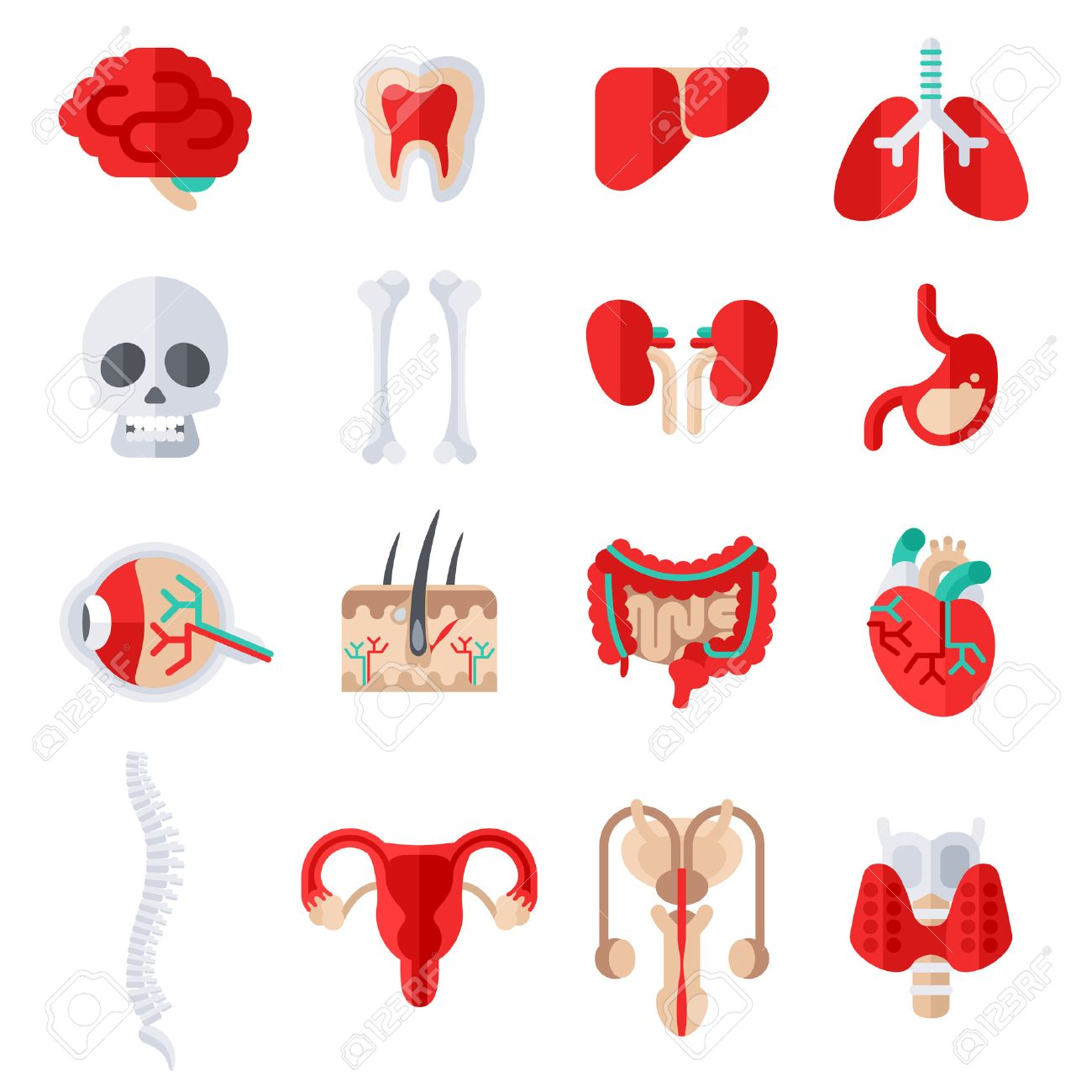 Human Internal Organs Flat Icons Set. Vector illustration. Skull and bones, liver and kidney, stomach, eye anatomy, skin with hair, heart, man and woman reproductive system, spine, healthy tooth. - 55095330