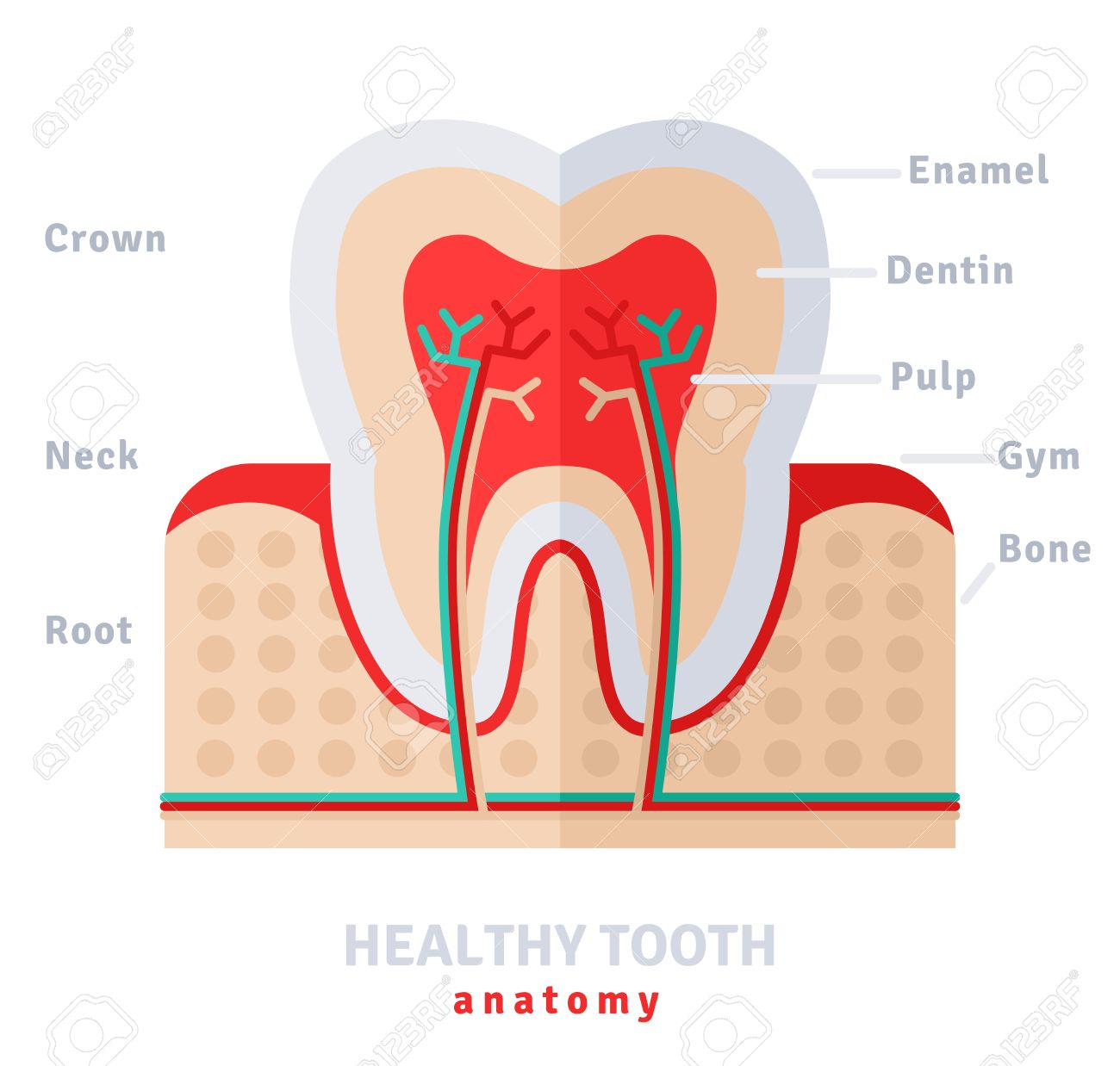 Healthy White Tooth Anatomy Flat Icon Concept Vector Illustration