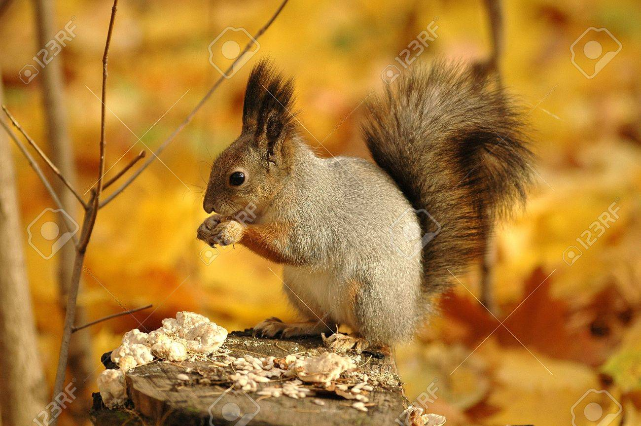 Squirrel gnaws nuts in an autumn wood Stock Photo - 3245497