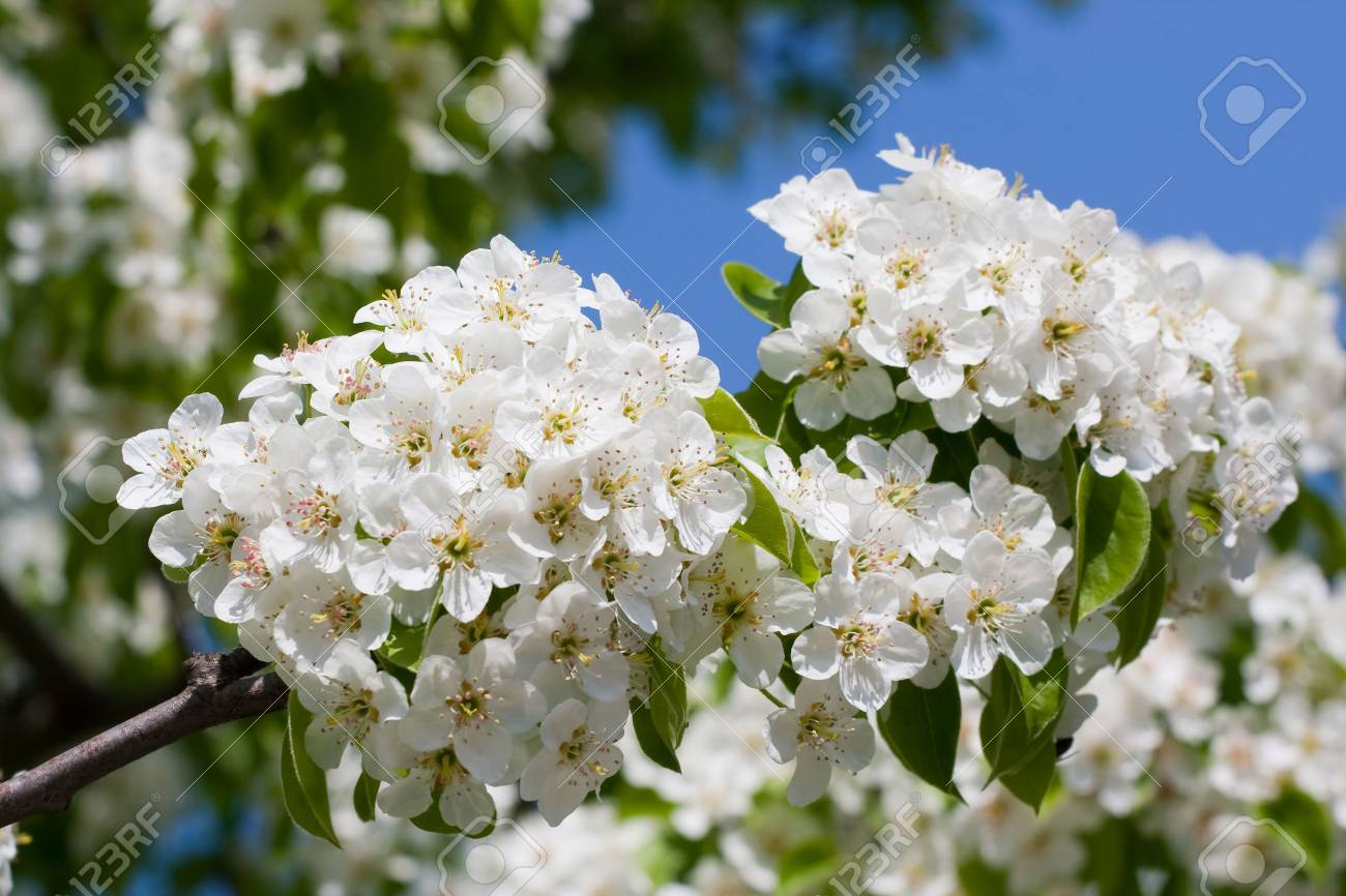 Blossoming branch of a fruit-tree against the sky Stock Photo - 4881812