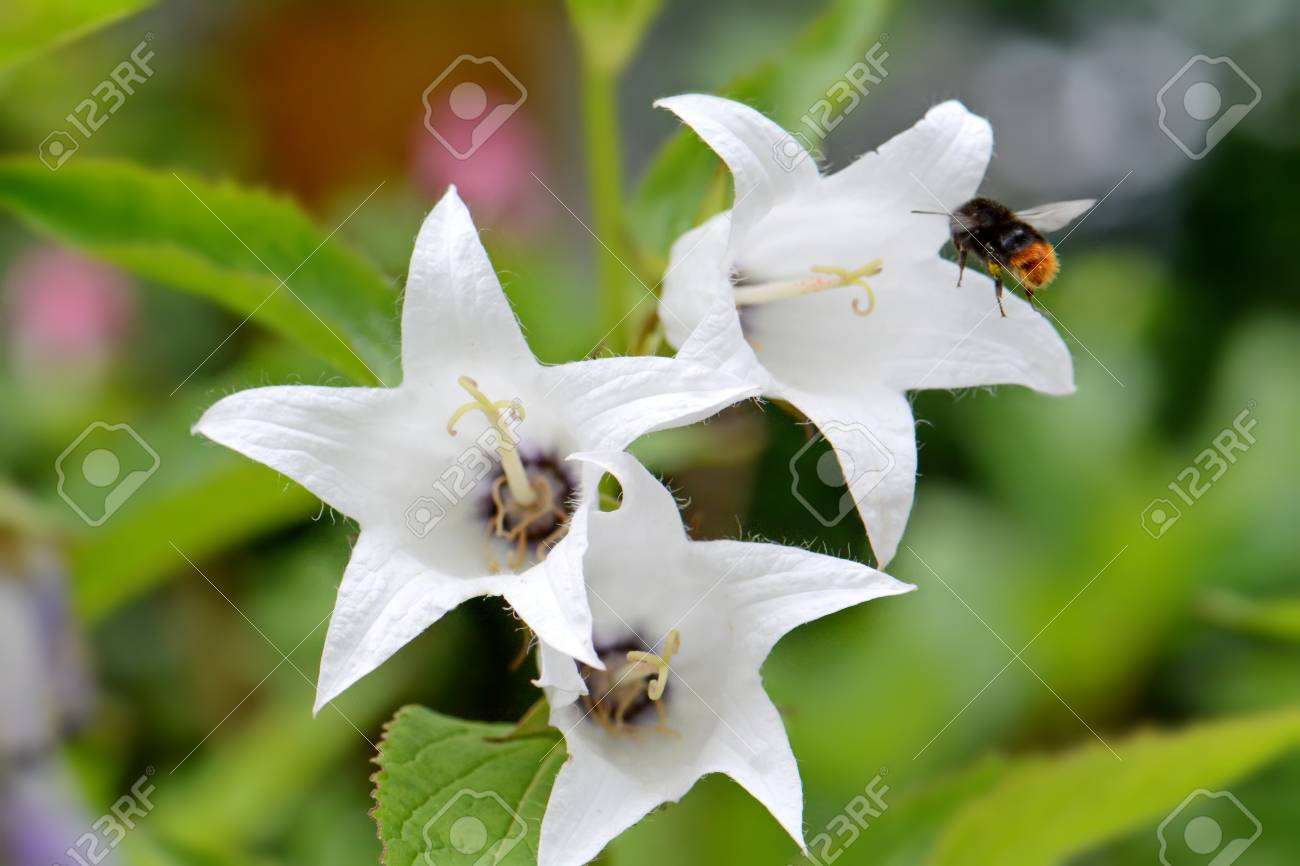 Large White Flowers Bluebells And A Big Bumblebee Stock Photo