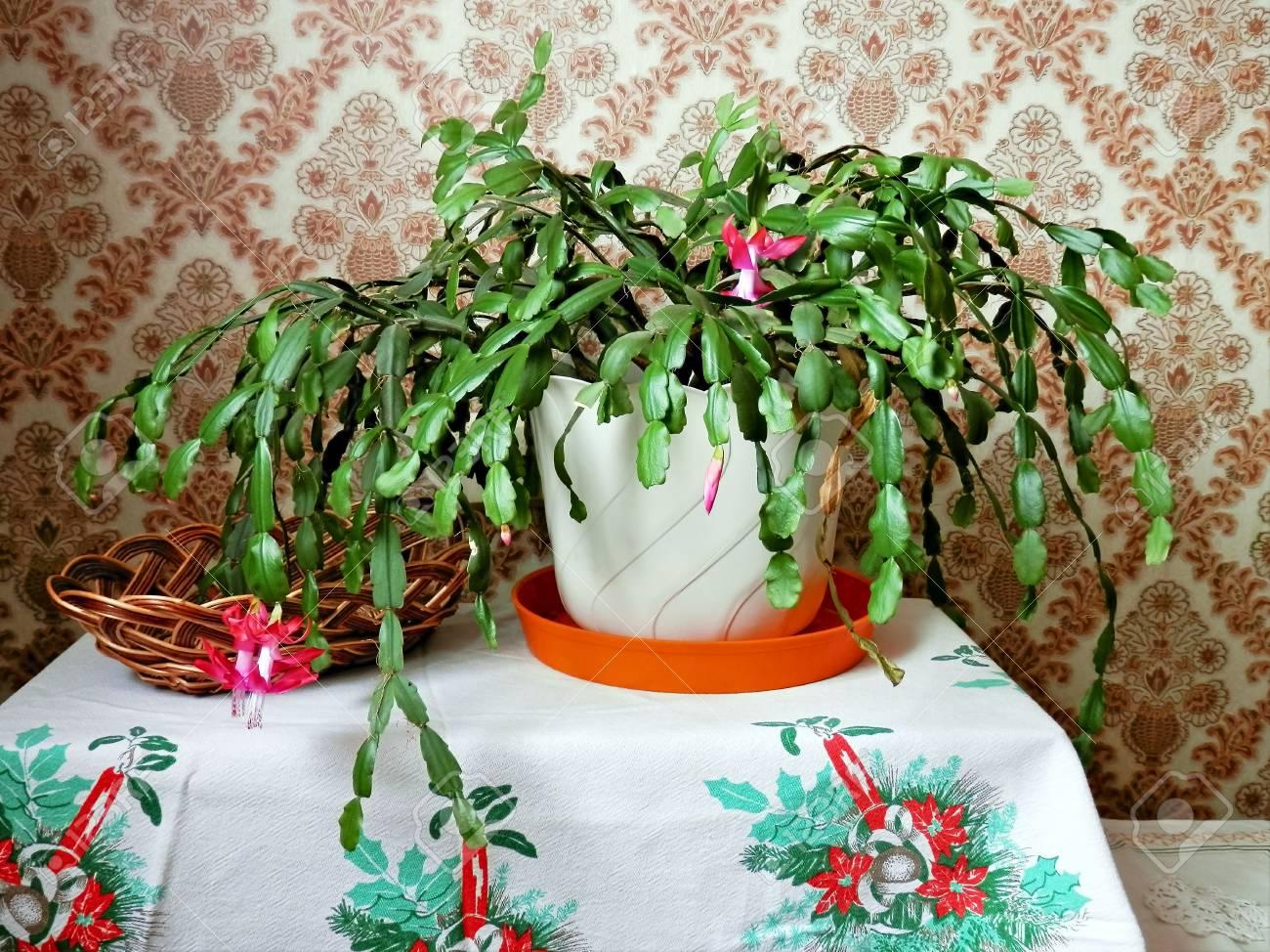 Cactus Di Natale.Durante Il Cactus Di Natale Di Fioritura Delle Piante E La Sua Tempistica E Sorprendente