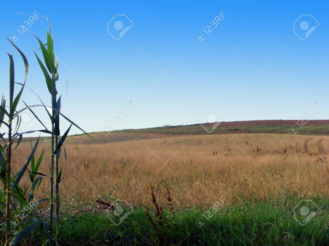 Wheat fields under a clear blue sky Stock Photo - 4301492