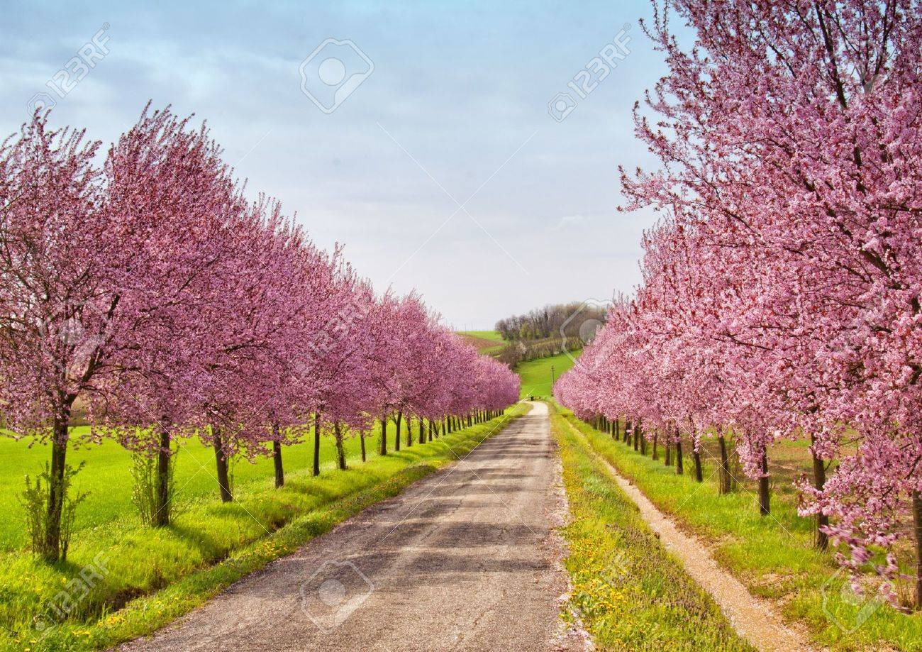 A road coasted by peach trees full of pink flowers - 16262375