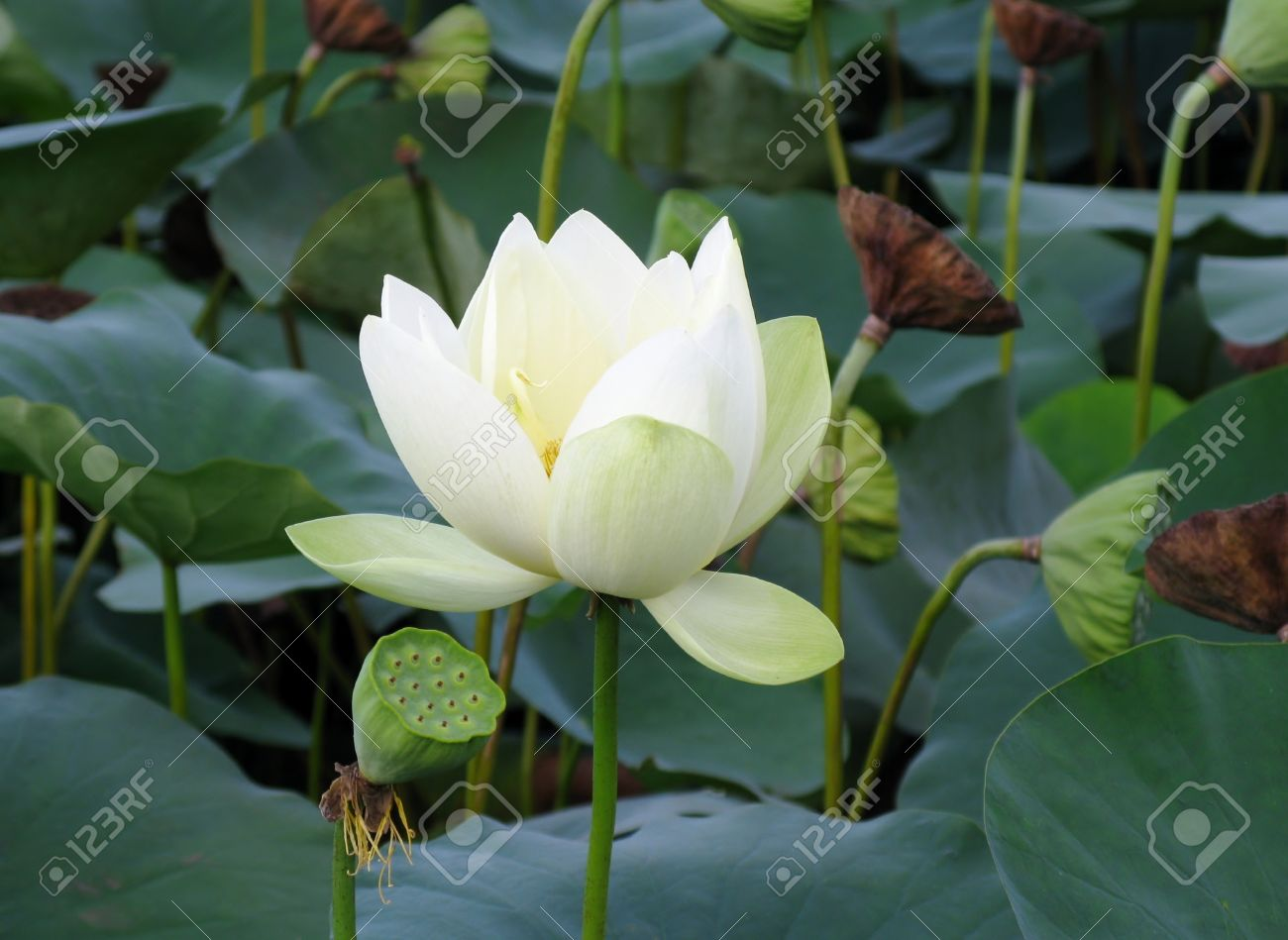 White Lotus Flower And Seedpods Stock Photo Picture And Royalty