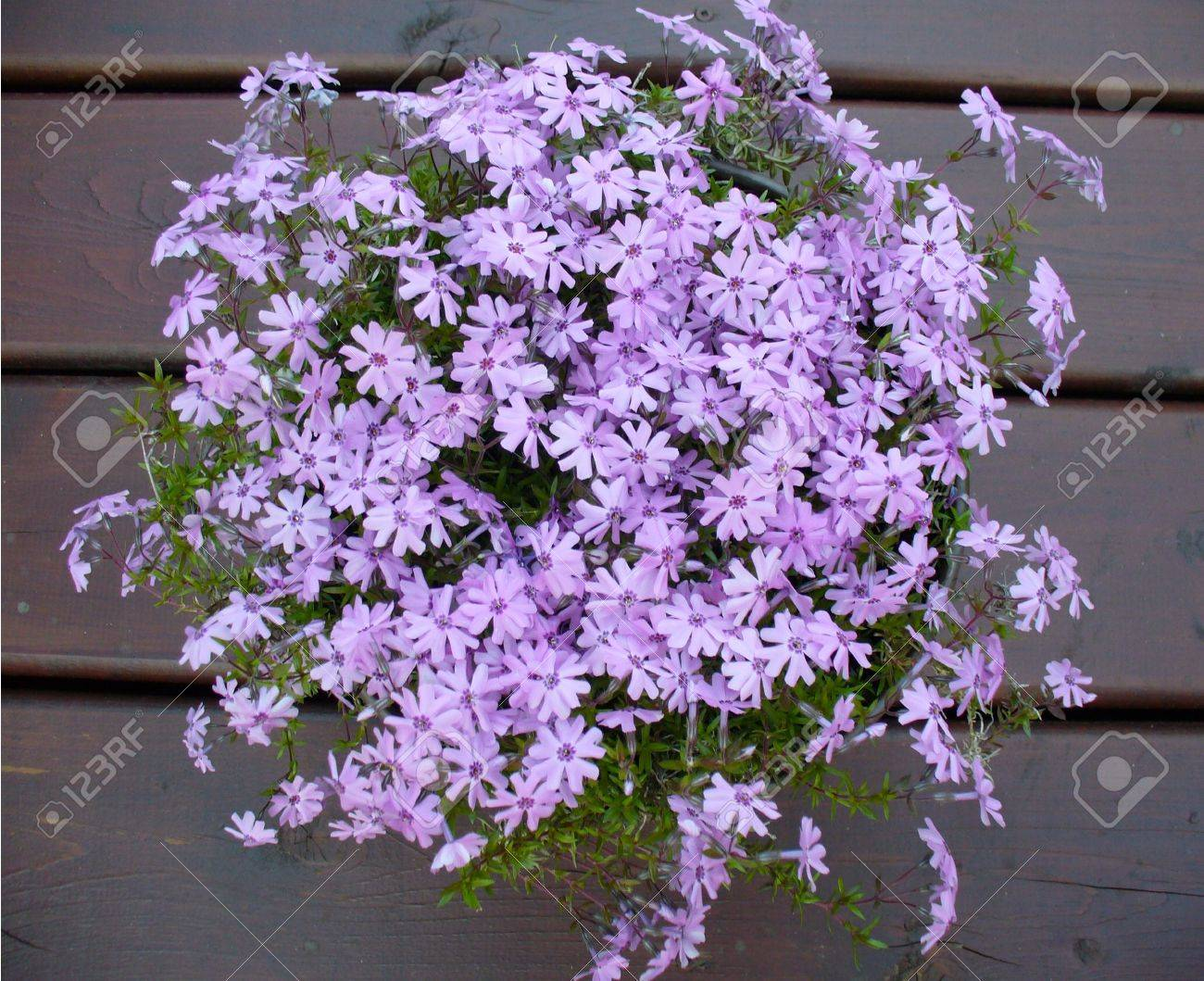 Pink Moss Phlox Fort Hill Flowers Stock Photo Picture And