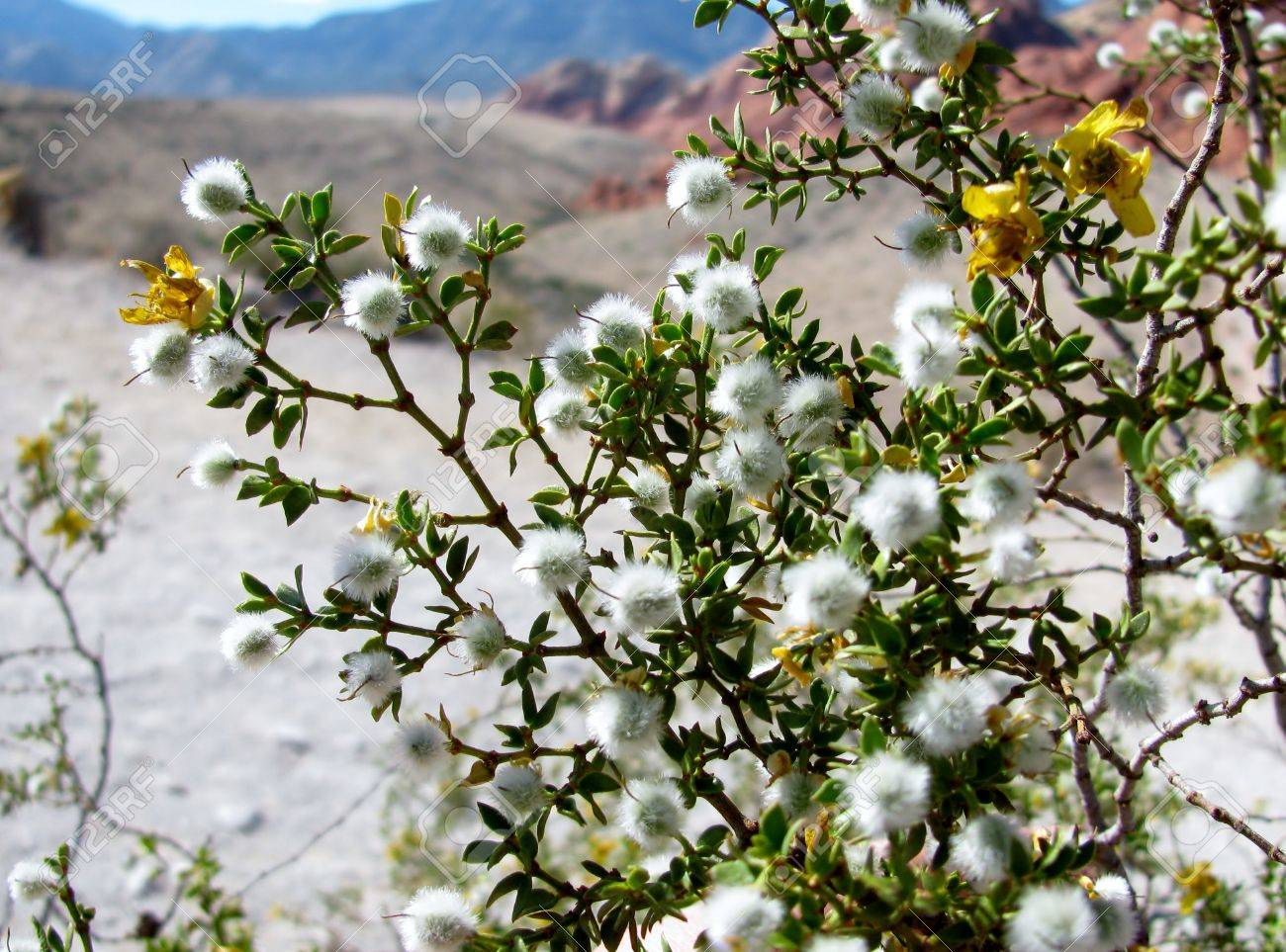 Virgínia Dawn Hope - Seeker of knowledge - Página 2 14384931-Creosote-bush-in-Red-Rock-Canyon-Nevada-Stock-Photo