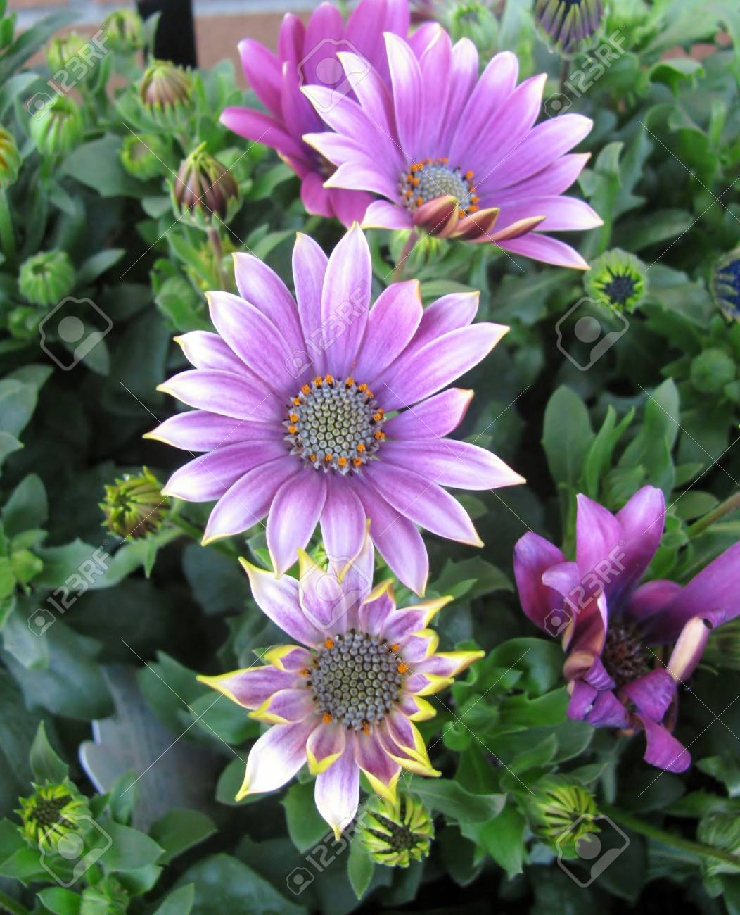Purple african daisy flowers in the garden stock photo picture and purple african daisy flowers in the garden stock photo 95057929 izmirmasajfo
