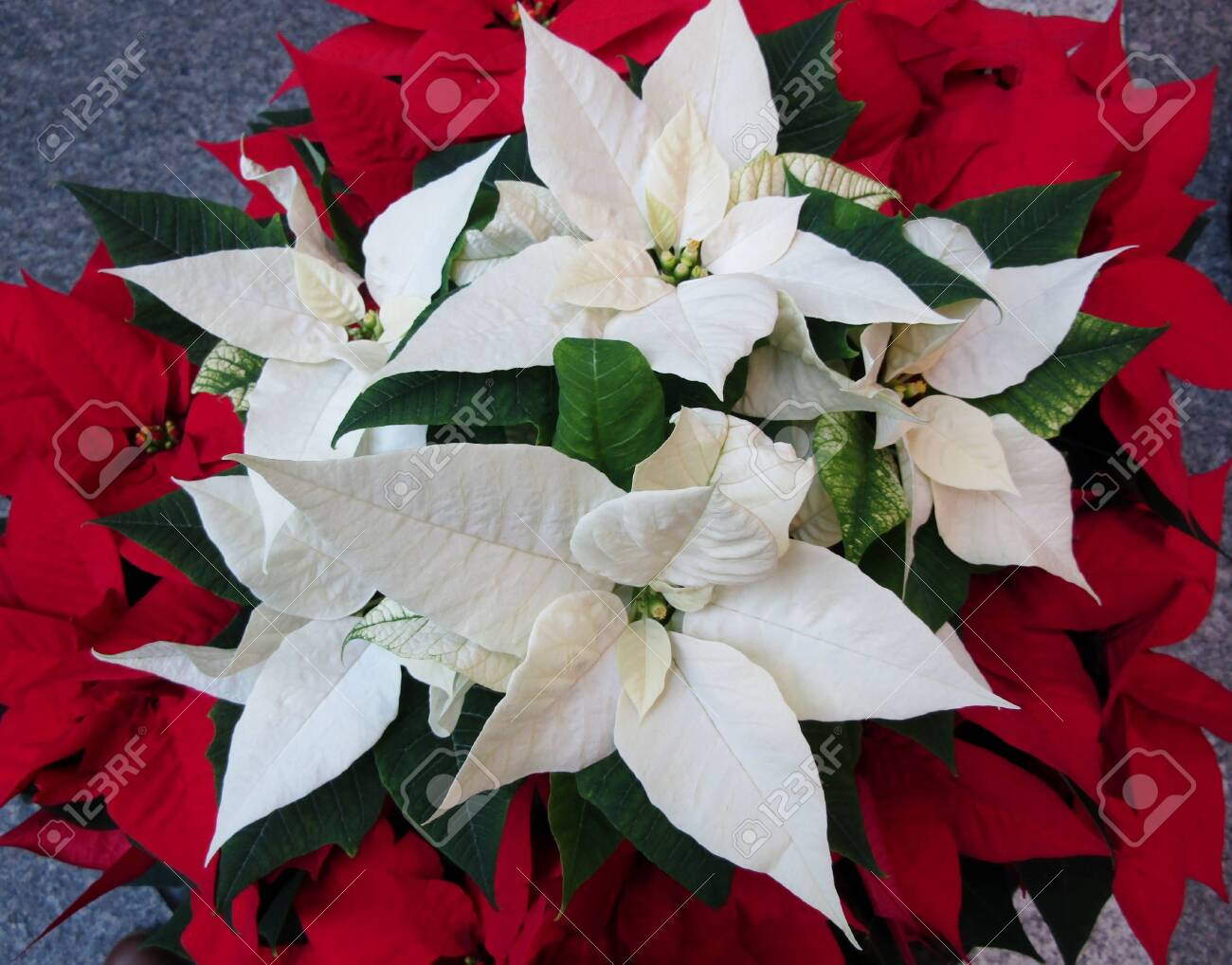 Close Up Of White And Poinsettia Plants Bloom Stock Photo Picture