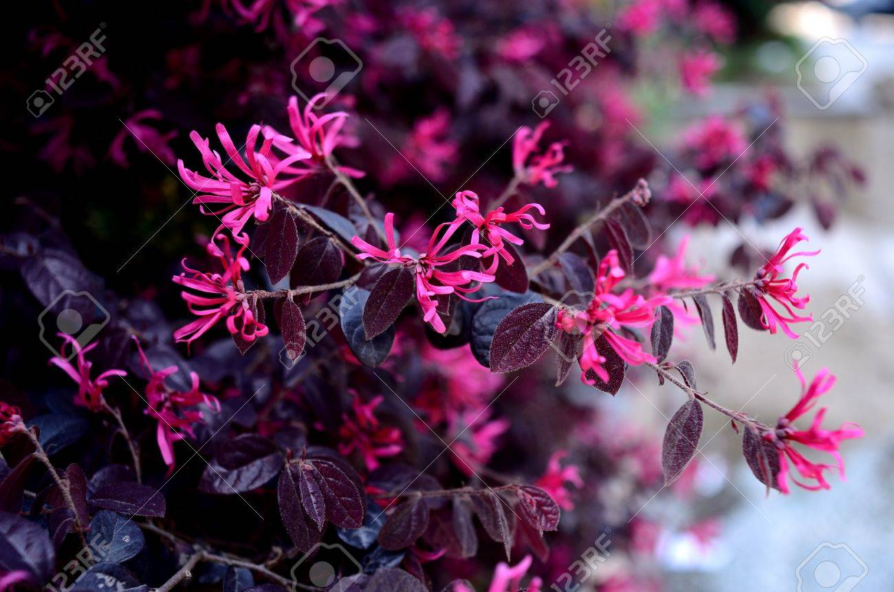 Loropetalum Chinense Varrubrum Stock Photo Picture And Royalty