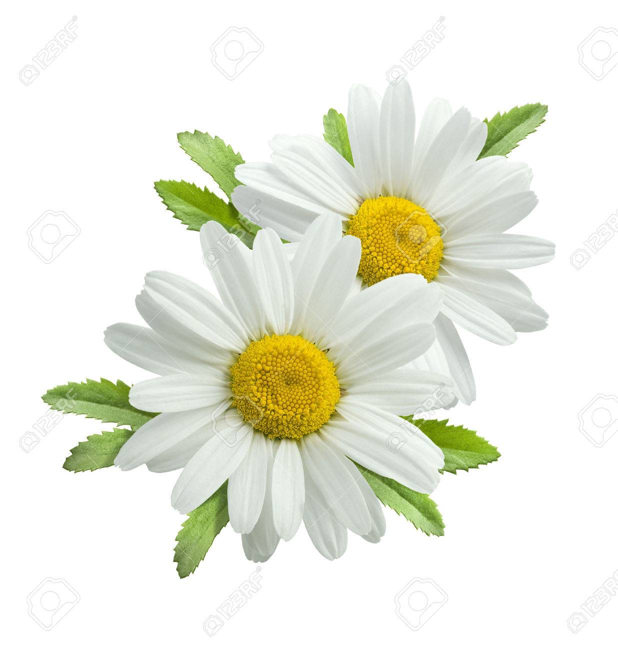 Double vertical chamomile composition isolated on white background as package design element - 42564662