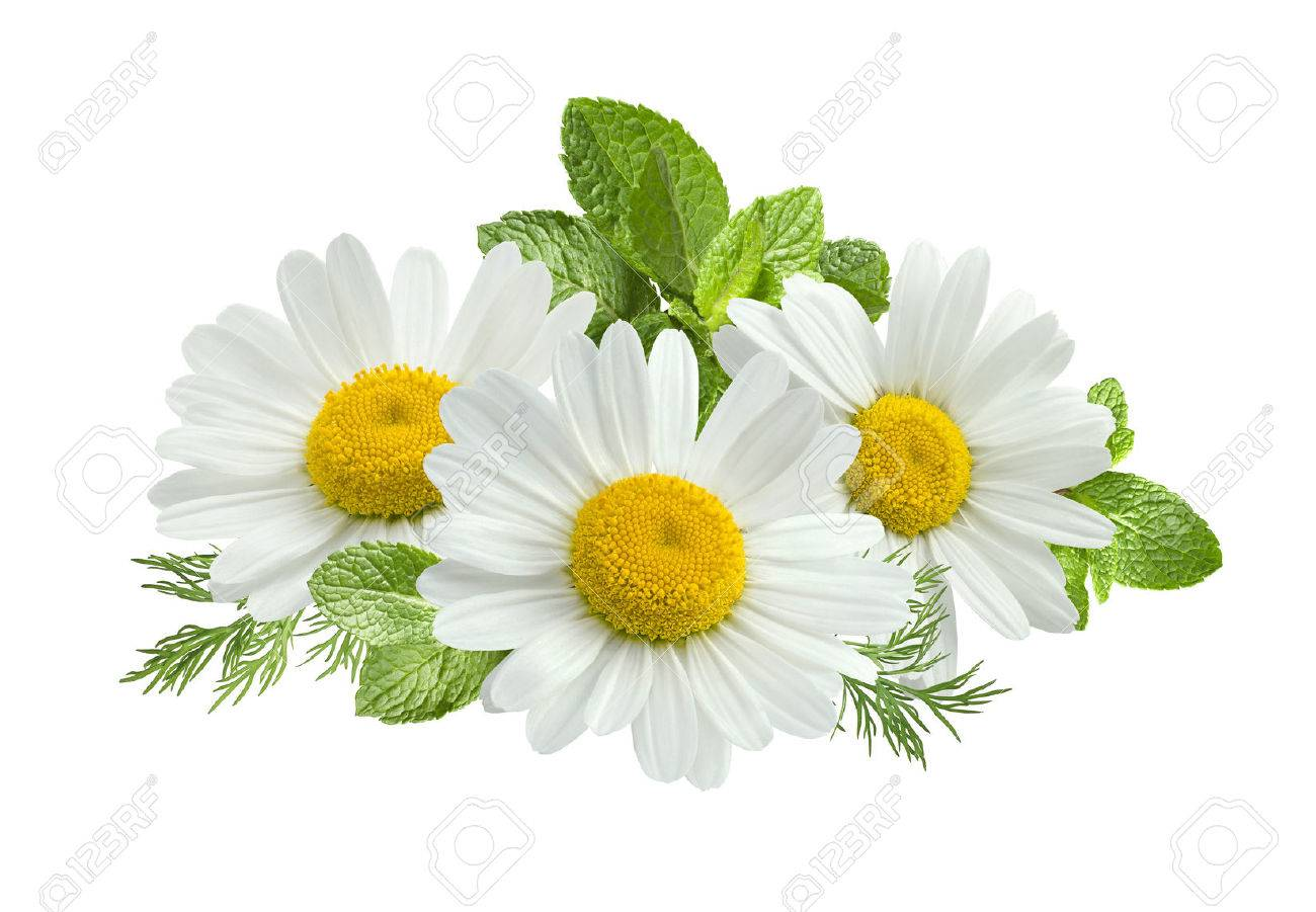 Chamomile flower mint leaves composition isolated on white background as package design element - 42846641