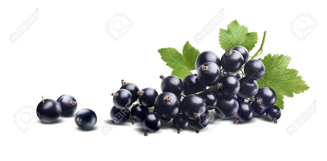 Black currant branch fresh isolated on white background as package design element - 50999569
