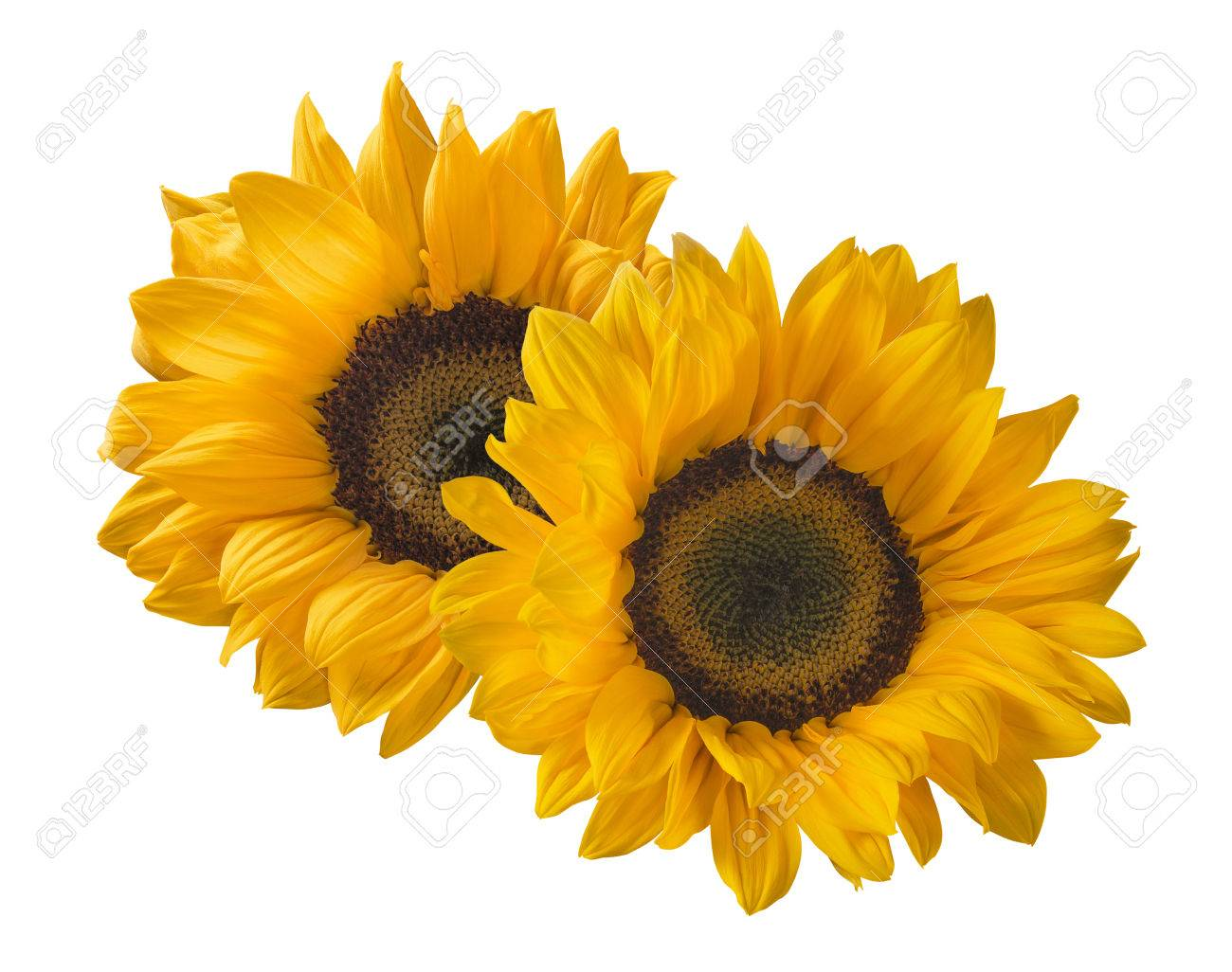 2 sunflower isolated on white background as package design element - 60740687