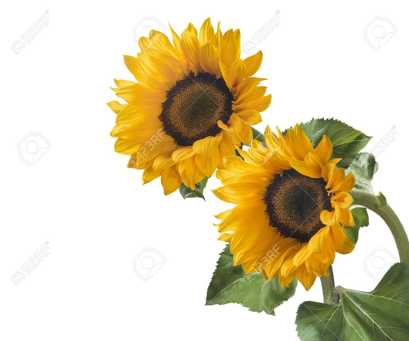 Double sunflower isolated on white background as package design element - 60740690