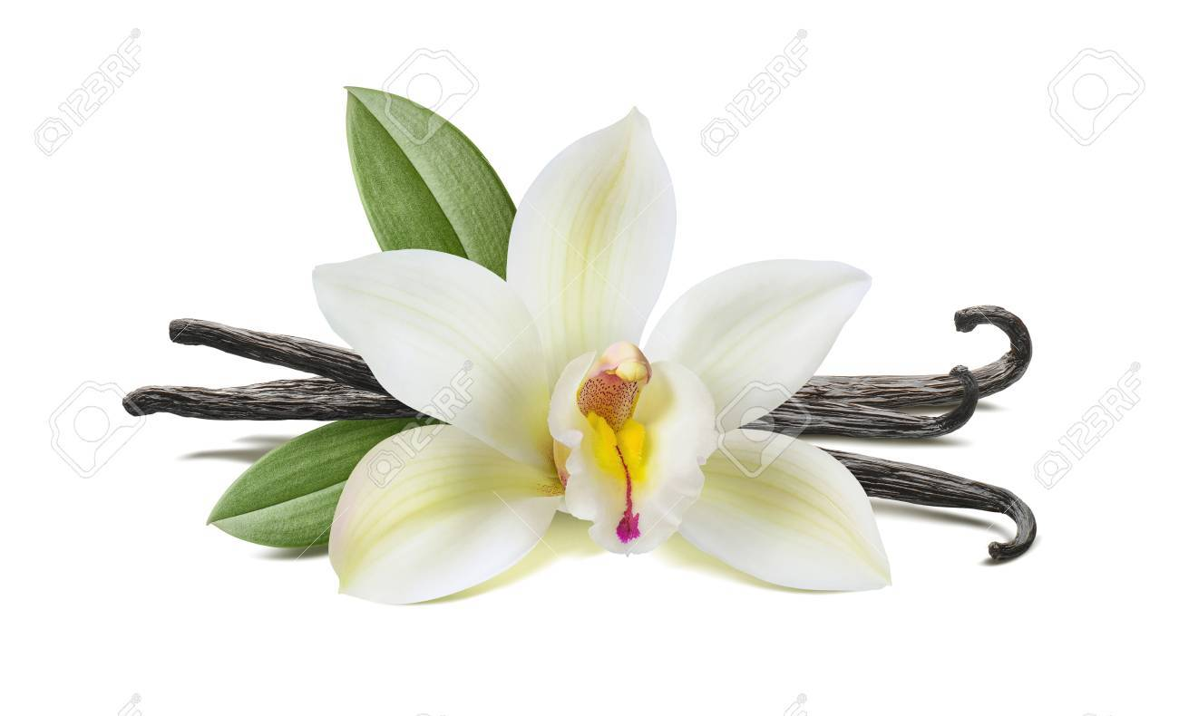 Vanilla flower, pods, leaves isolated on white background, horizontal composition - 83682748