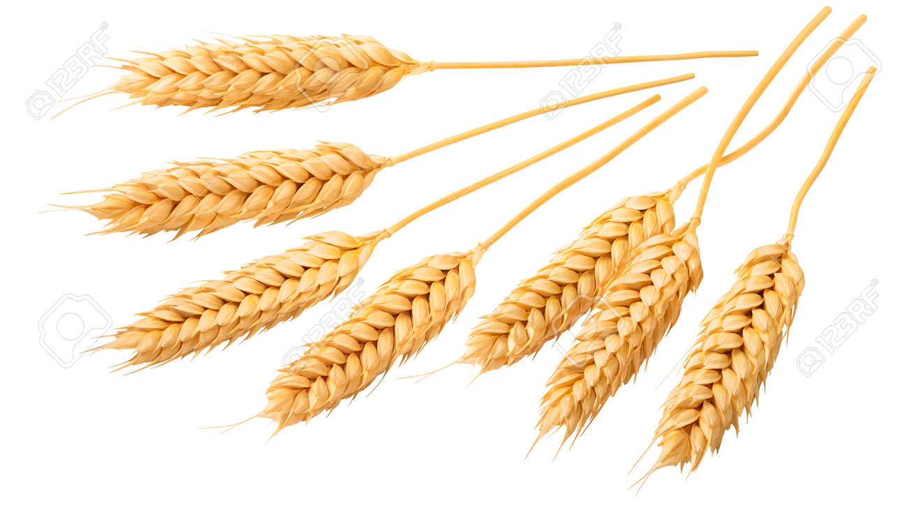 Selection of beardless wheat ears or heads isolated on white background. Package design set with clipping path. Perfect grains - 169971626