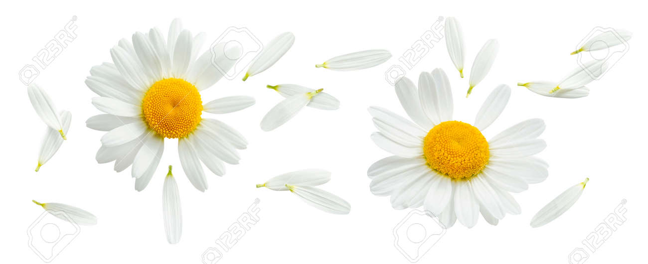 Chamomile or camomile set isolated on white background. Daisy flower. Top view. Package design element with clipping path - 169971644