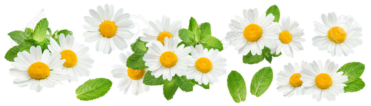 Camomile flowers and mint set isolated on white - 170965811