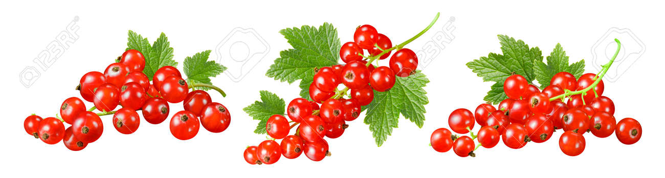 Set of red currant clusters with leaves isolated on white background. Package design element - 173414008