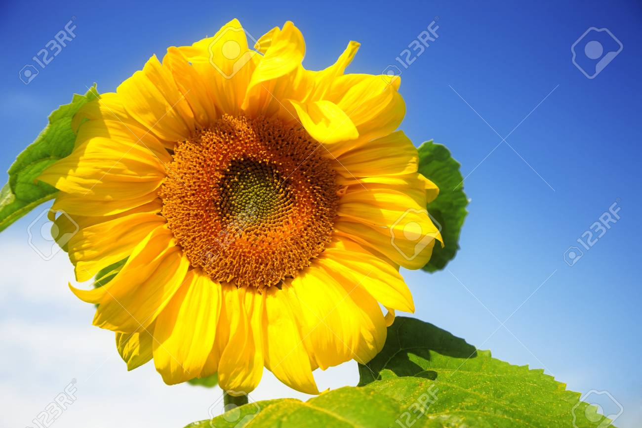 yellow sunflower against blue sky Stock Photo - 5459119