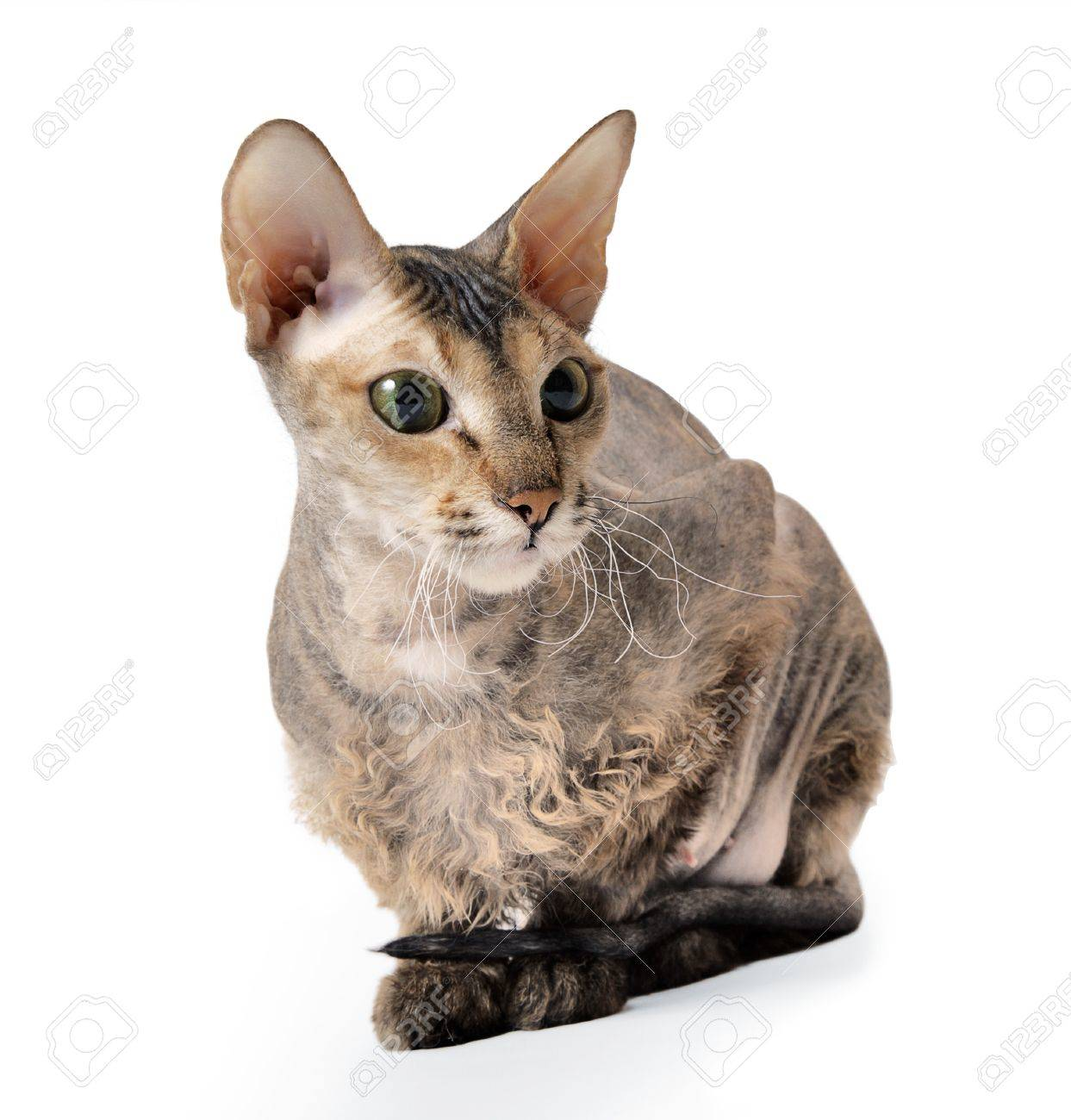 cute hairless oriental cat isolated on white Stock Photo - 10043133