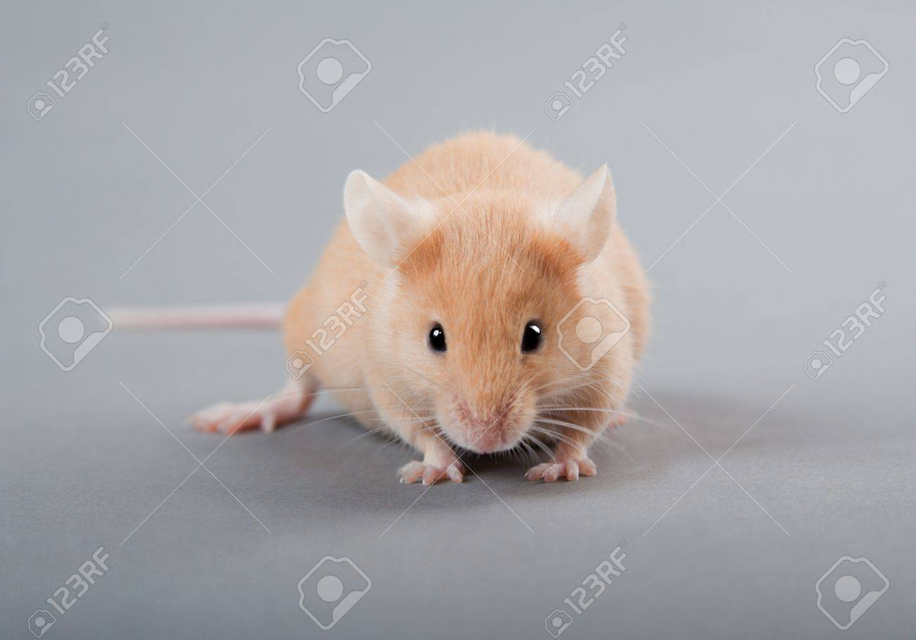 Yellow laboratory mouse isolated on grey background - 10043468