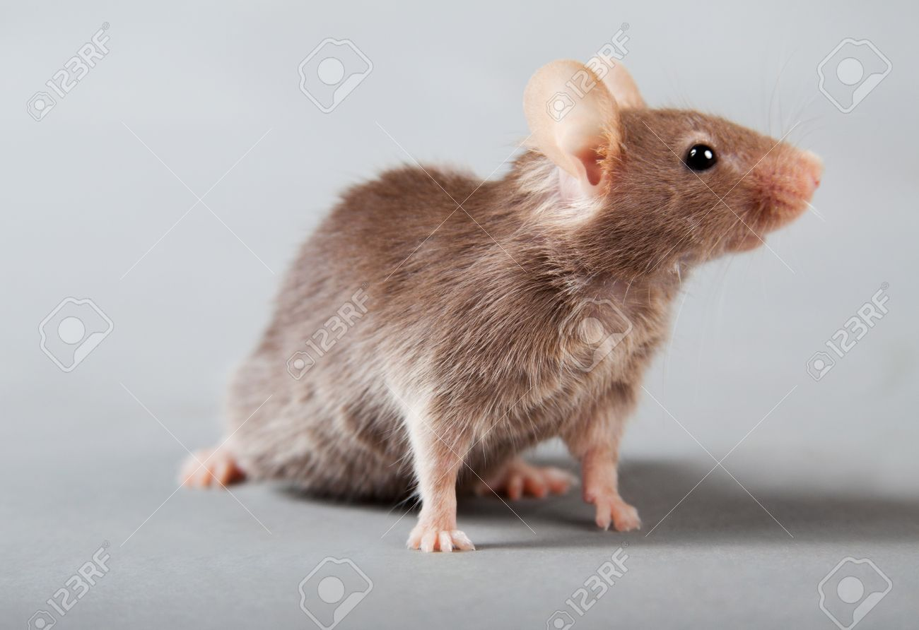 Brown laboratory mouse isolated on grey background - 10042932