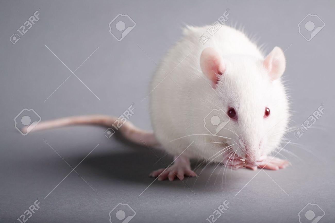 white laboratory rat isolated on grey background - 10102683